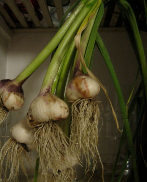 Garlic curing in the pantry